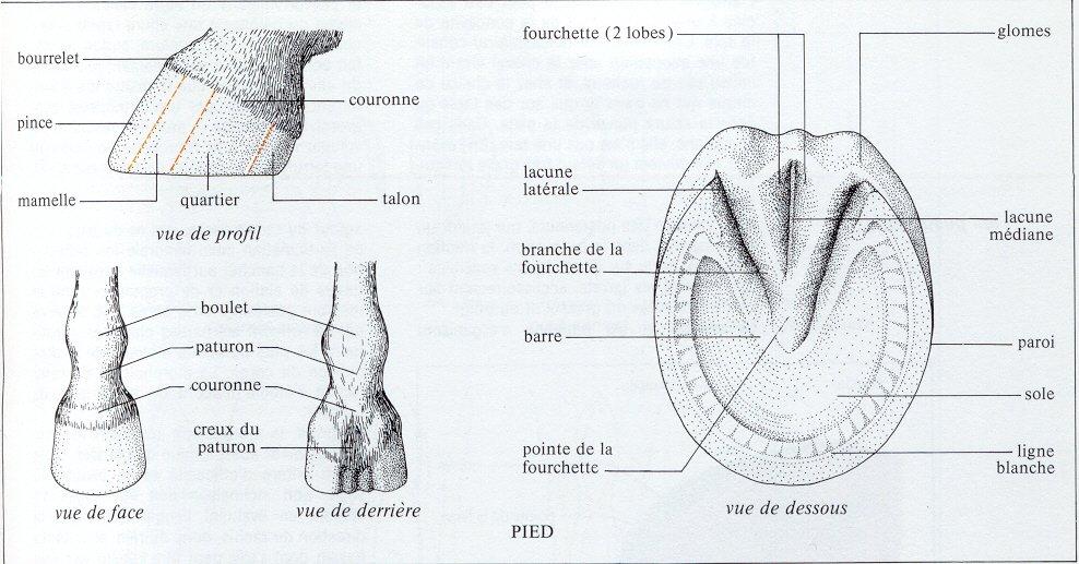 Ouvrages concernant le Cheval Morphologie3