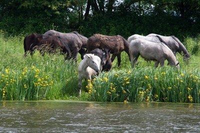 chevauxmigron1.jpg